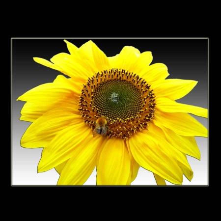 Sonnenblumenbiene